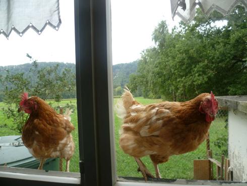 Bichonnée, une poule achetée entre 15 et 40 euros peut donner près de 150 oeufs par an.