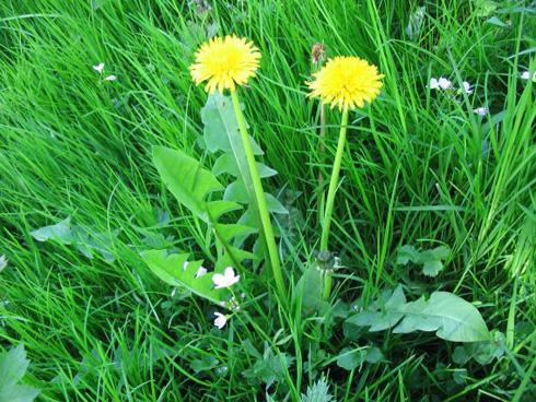 Ne cueillez pas vos pissenlits et autres plantes trop près des bords de route ou de champs s'ils sont traités, pas plus que sur les chemins empruntés par les chiens.