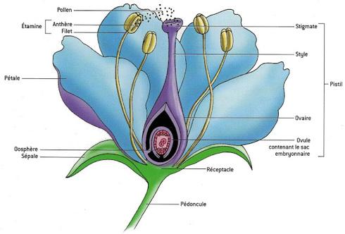 Pistil, étamine, stigmate... quand la fleur se déshabille.