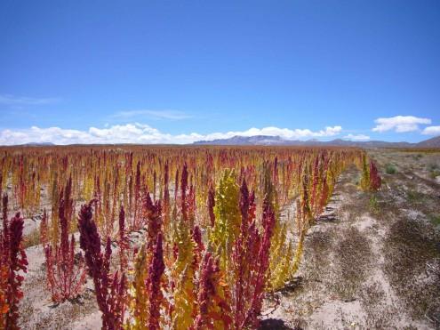 C'est beau un champ de quinoa, non ?